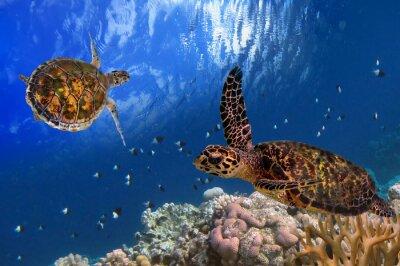 Plakát Maledivské Sea Turtle Plovoucí