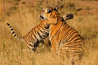 Plakát Milující moment mezi bengálského tygra a její mládě