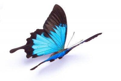 Plakát Modré a barevný motýl na bílém pozadí