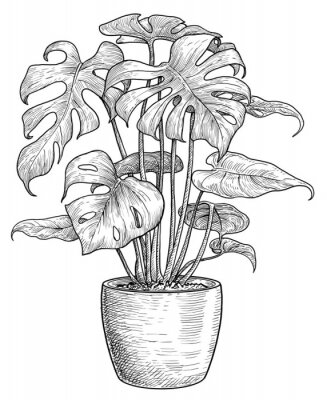 Plakát Monstera illustration, drawing, engraving, ink, line art, vector