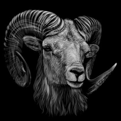 Plakát Mountain sheep. Artistic, monochrome, black and white, hand-drawn portrait of a mountain sheep on a black background.