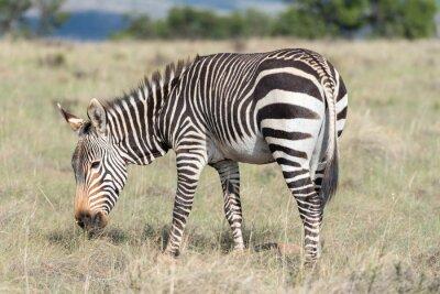 Plakát Mountain zebra spásání