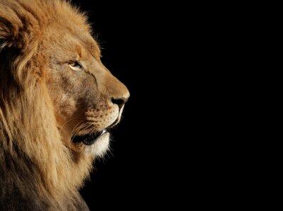 Plakát Muž Africký lev na černém