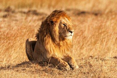 Plakát Muž lev v Masai Mara
