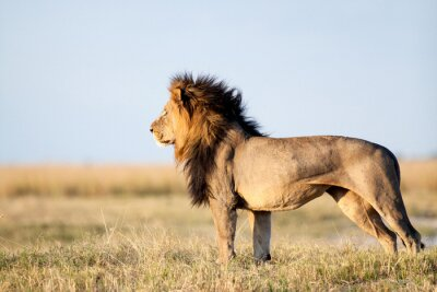 Plakát Muž Lion