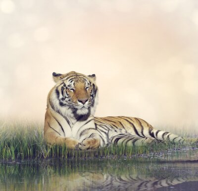 Plakát Muž Tiger Odpočívající