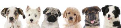 Plakát Několik štěňata - psi se seřadili hlavy