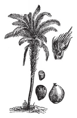 Plakát Oil palm vintage illustration.