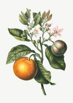 Plakát Orange tree branch