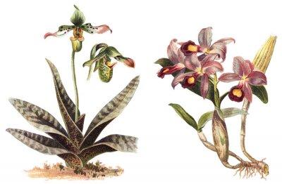 Plakát Orchid - levý Paphiopedilum venustum a pravý Cattleya Skinneri / vintage ilustrace