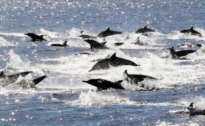 Plakát Pacific Společný Dolphin Stampede