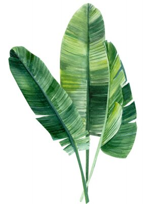 Plakát palm tree, leaves of tropical forests on an isolated white background, watercolor illustration