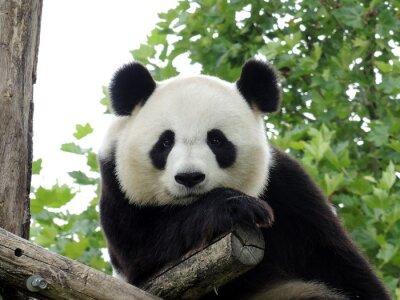 Plakát Panda Geant 3