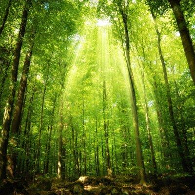 Plakát Paprsky slunce v bukovém lese