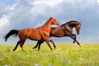 Plakát Pár koní běžet tryskem na gree trávě s květinami na letní den