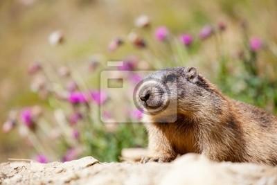 Plakát Parco Nazionale dello Stelvio - Marmotta