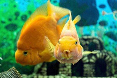 Plakát Parrotfish v akváriu detailní