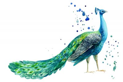 Plakát peacock bird on a white background, watercolor hand drawing