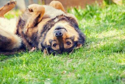 Plakát Pes ležel na zádech na trávě