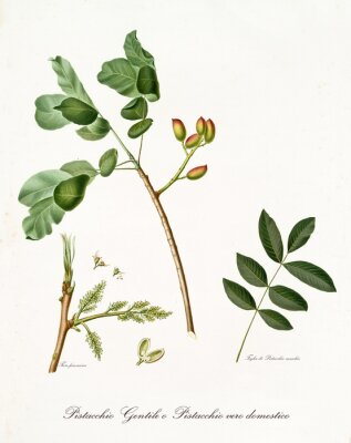 Plakát pistácie větev s listy a jiné botanické prvky. Všechny kompozice je izolované na bílém pozadí. Staré detailní botanické ilustrace Giorgio Gallesio publikoval v roce 1817, 1839