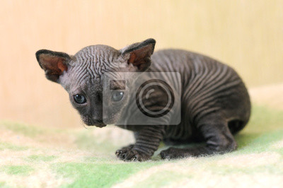 Mladá plešatá černá kočička