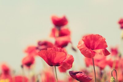 Plakát Poppy flowers retro peaceful summer background