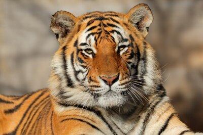 Plakát Portrét bengálský tygr (Panthera tigris bengalensis).