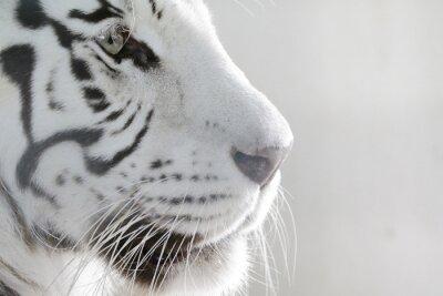 Plakát Portrét Bílý tygr