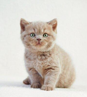 Plakát portrét britské krátké vlasy kotě