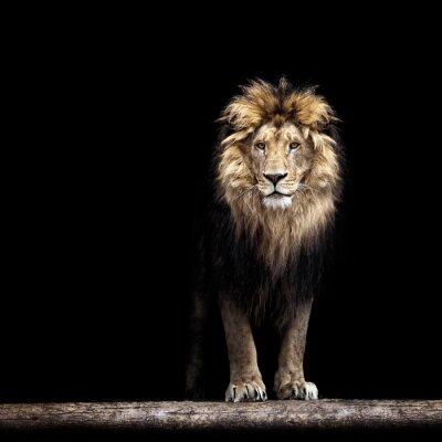 Plakát Portrét krásné lva, lev ve tmě