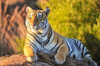 Plakát Portrét tygr
