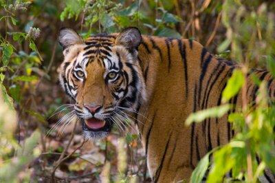 Plakát Portrét tygra v divočině. Indie. Národní park Bandhavgarh. Madhya Pradesh. Vynikající ukázkou.