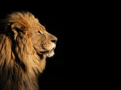 Plakát Portrét velké mužské africký lev na černém