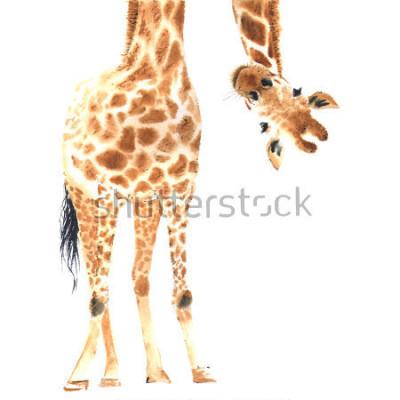 Plakát Realistická žirafa vyrobená v akvarelu. Close-up. Ručně kreslená ilustrace