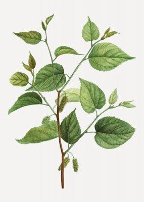 Plakát Red mulberry branch