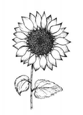 Plakát Retro black outline ink pen sketch of sunflower. Hand drawn illustration of beautiful sun flower isolated on white background for botanical pattern design, greeting card decoration