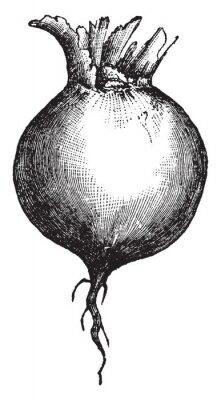 Plakát Root vintage illustration.