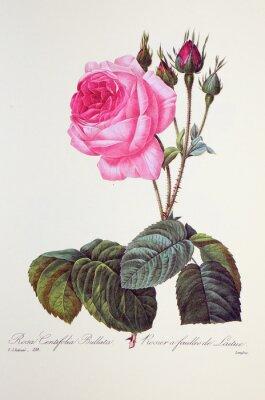 Plakát Růže stolistá bullata / Rose à feuilles de laitue