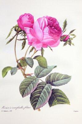 Plakát Růže stolistá / Rose centfeuilles foliacé