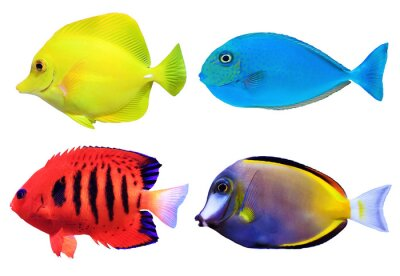 Plakát Sada tropických mořských fishs