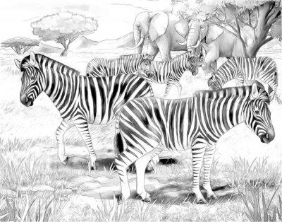 Plakát Safari - zebry - zbarvení stránky
