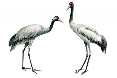 Plakát set of beautiful birds crane on isolated white background, watercolor illustration