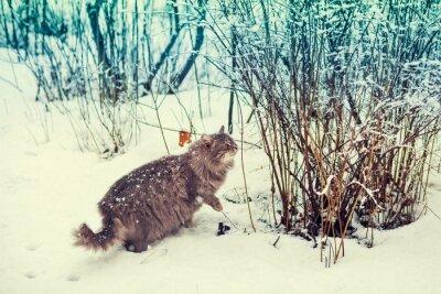 Plakát Sibiřská kočka chůzi v zasněženém lese