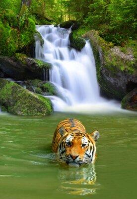 Plakát Sibiřský tygr ve vodě