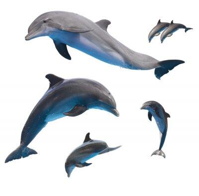 Plakát skákání delfíni na bílém