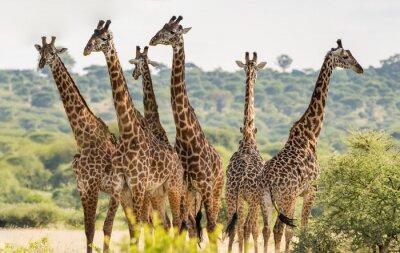Plakát Skupina šesti žirafy v národním parku Tarangire, Tanzanie