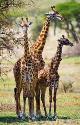 Plakát Skupina žiraf v savany. Keňa. Tanzanie. Východní Afrika. Vynikající ukázkou.