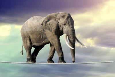 Plakát Slon chůzi na laně