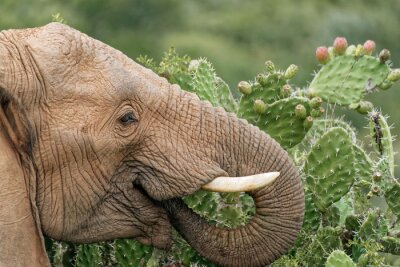Plakát Slon jíst opuncie