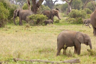 Plakát Slon rodina v Keni